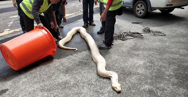 端午節到了 白蛇趴趴走!
